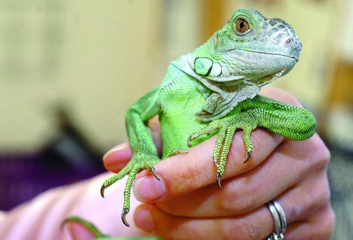 Hour Photo/ Alex von Kleydorff. A 3-year-old, rescued Green Iguana at South Wilton Veterinary Group.