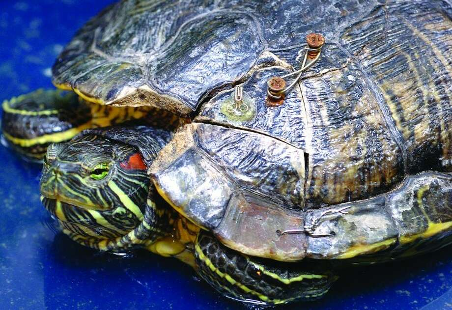 Hour Photo/ Alex von Kleydorff. A red-eared slider turtle at the South Wilton Veterinary Group has a damaged shell after being run over.