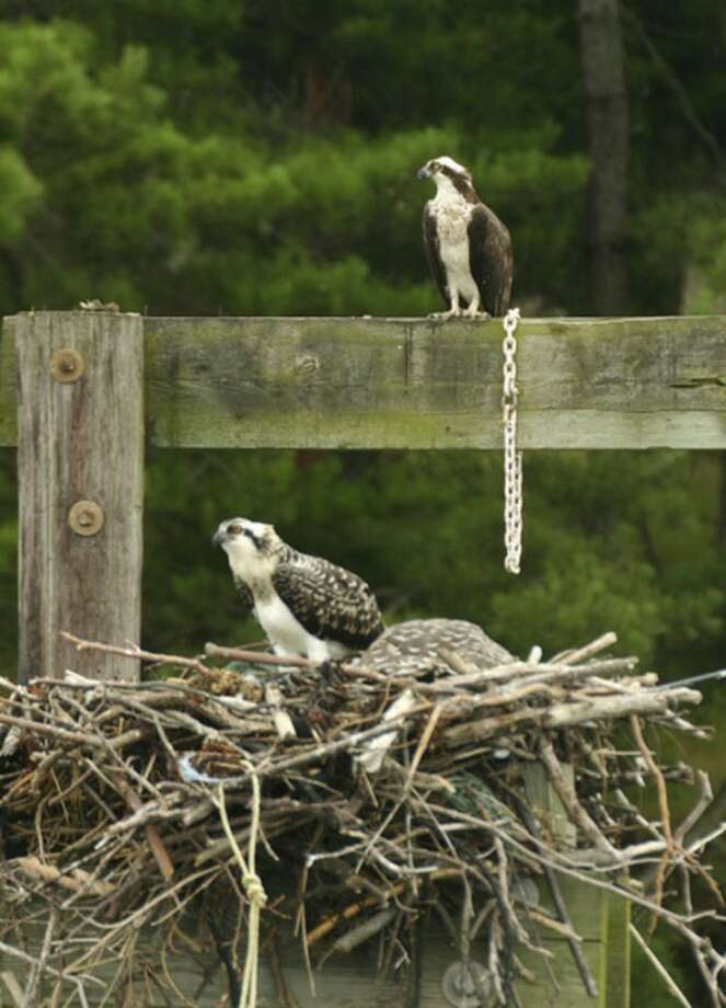 An adult osprey (back) watches over a nest with three young birds in it around the Norwalk Islands.