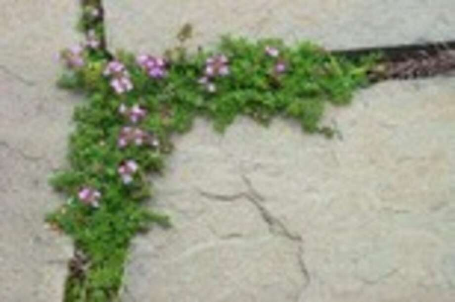 This publicity photo provided by The Herb Society of America shows thyme (Thymus serpyilum) thriving in a walkway. Herbs are a good choice in high, hot sun, drought, or other problem settings. (AP Photo/The Herb Society of America, Robin Siktberg) / The Herb Society of America