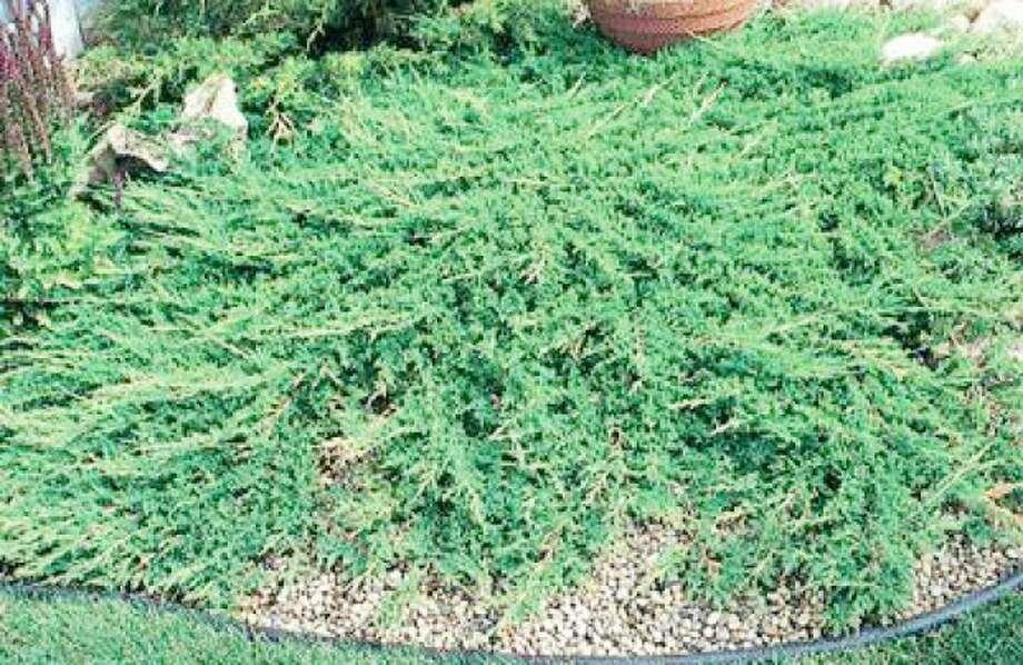 A file photo of a Juniper bush similarto the ones stolen from Saint Matthew Church in Norwalk Wednesday.