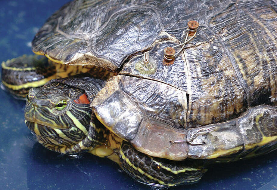 Hour Photo/ Alex von Kleydorff. Red Eared Slider water turtle with a damaged shell from being run over at South Wilton Veterinary Group / 2012 The Hour Newspapers