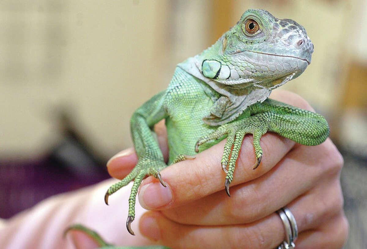 Hour Photo/ Alex von Kleydorff. 3 yr old rescued Green Iguana at South Wilton Veterinary Group