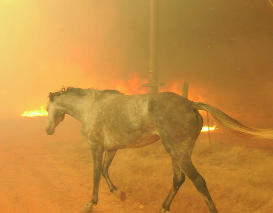 A horse tries to escape a wildfire burning in the eastern part of the Cleveland County, Friday, Aug. 3, 2012 in Slaughter, Okla. The horse was eventually rescued. A wildfire whipped by gusty, southerly winds swept through rural woodlands north and south of Oklahoma City on Friday, burning several homes as firefighters struggled to contain it in 113-degree heat.(AP Photo/The Norman Transcript, Jerry Laizure). (AP Photo / The Norman Transcript, Jerry Laizure / THE NORMAN TRANSCRIPT