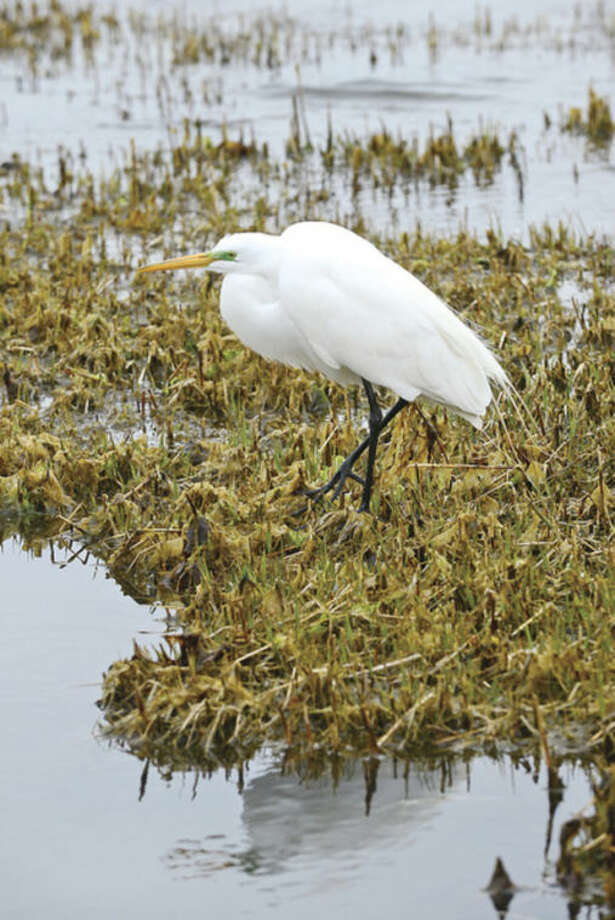 Hour photo / Erik TrautmannHunting for foodA Snowy Egret looks for food along the shores of Calf Pasture Beach recently.