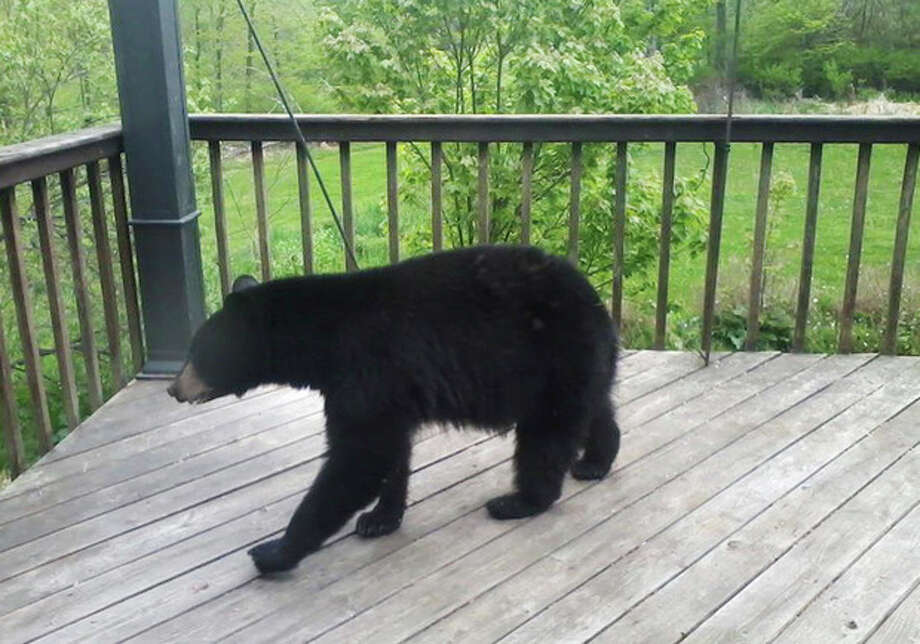 In this May 9, 2012 photo provided by Donna Wiltsie, a bear searches a porch for food in Catskill, N.Y. With their normal summer diet of greens and berries shriveled by summer heat and drought, hungry bears in New York and other states have been rummaging through garbage, ripping through screens and crawling into cars in search of sustenance. (AP Photo/Donna Wiltsie) / Donna Wiltsie