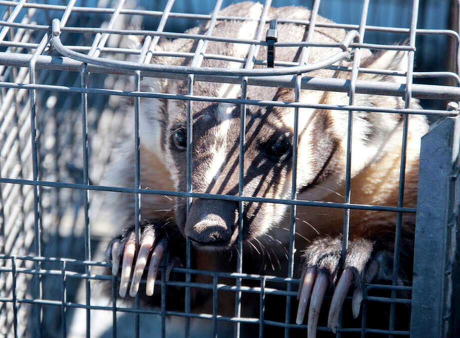 This Aug. 7, 2012 image provided by the Nevada Department of Wildlife shows a a captured badger who wandered through an open door into a bottled water store in Sparks, Nev. Officials with the Nevada Department of Wildlife and Washoe County animal services officers were able to lure it into a cage with cat food. No one was hurt at the Fresca Waterstore, and the animal later was released into the wild on Peavine Mountain north of Reno. (AP Photo/Nevada Department of Wildlife, Aaron Meyer) / Nevada Dept of Wildlife