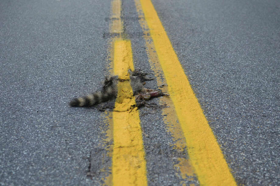 This photo provided by Sean McAfee from Thursday, Aug. 2, 2012, shows a dead raccoon that McAfee saw with the road dividing line painted over it before he stopped his motorcycle to take the picture on Franklin Rd. in Johnstown, Pa. According to PennDOT traffic engineer John Ambrosini, paint crews know to avoid such animals and usually have a foreman on the job to clear any dead animals off the road before the paint-spraying truck equipment passes by. This crew didn't have a foreman that day, and the equipment was too big to turn around in traffic on the curvy, narrow road so the line could be repainted without the carcass in the way. (AP Photo/Sean McAfee) NO SALES / Sean McAfee