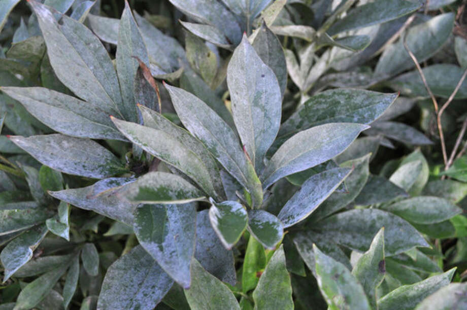 AP photoIn this image taken on July 30, 2012, a powdery mildew on a peony plant is shown in New Paltz, N.Y. / AP2012