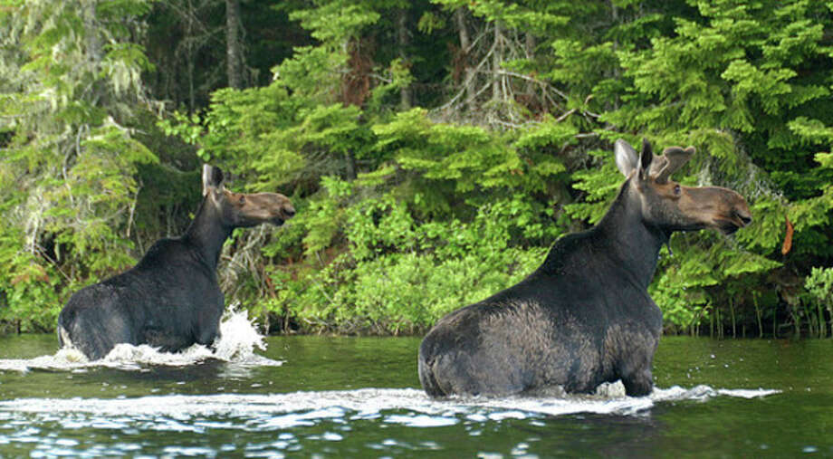 Young bull and cow moose in Pittsburg, N.H., June 2013. Photo by Chris Bosak
