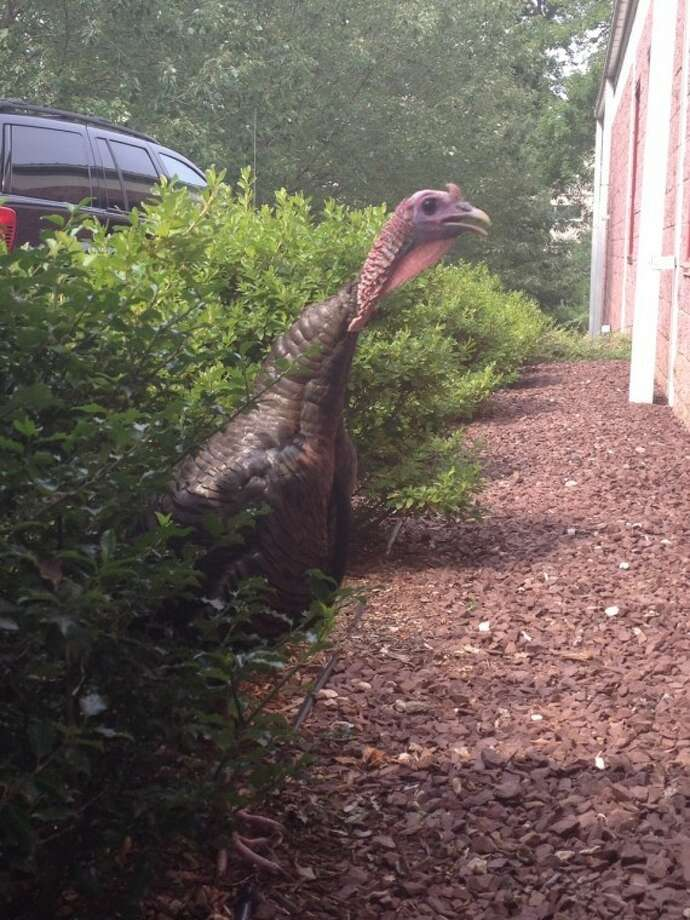 """The employees of Commerce Packaging (305 Wilson Avenue Norwalk, CT) wanted to introduce everyone to """"Merce"""" (as in Comm-merce) a wild turkey who we have """"adopted"""". He has been visiting us daily for the last few months and we have given him """"amnesty"""" heading into Thanksgiving. He is very friendly (not aggressive at all) and welcomes anyone who approaches our building. He enjoys snacking on our foliage and resting under our trees."""
