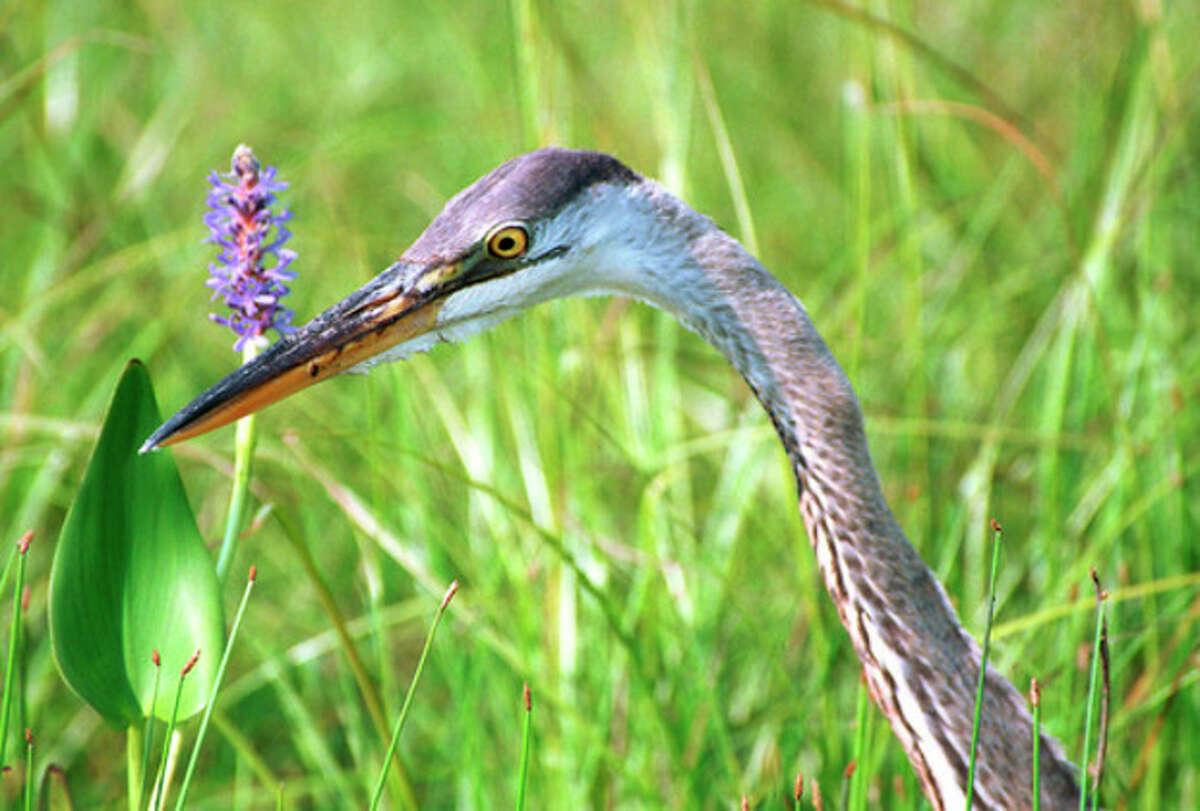 Great-blue Heron. Photo by Chris Bosak