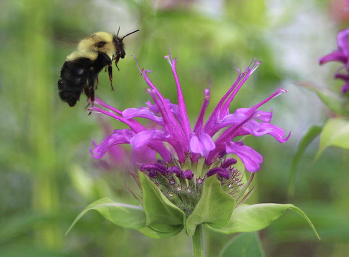 Photo by CHRIS BOSAK A bumble bee hovers around a bee balm flower this summer.