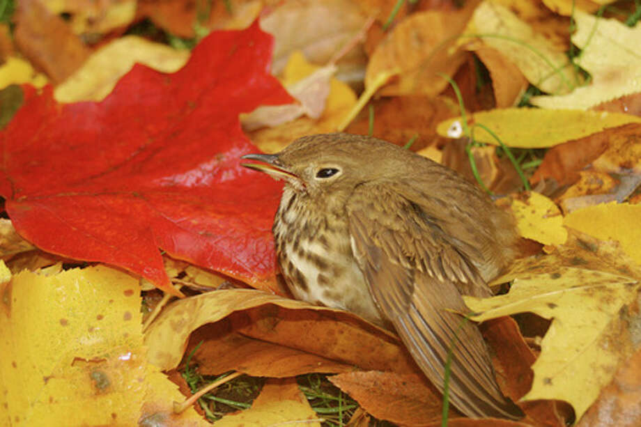 Photo by CHRIS BOSAKGround-dwelling birds, such as this hermit thrush, are at particular risk from cat predation.