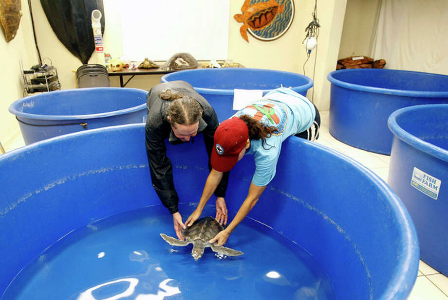 Richie Moretti, left, and Bette Zirkelback release a kemps ridley turtle into an indoor tank in Marathon, Fla., Saturday, Aug. 25, 2012 . The turtles were moved from outside tanks to safer indoor tanks for protection in anticipation of Tropical Storm Isaac, Saturday, Aug. 25, 2012. Isaac's winds are expected to be felt in the Florida Keys by sunrise Sunday morning. (Alan Diaz) / AP