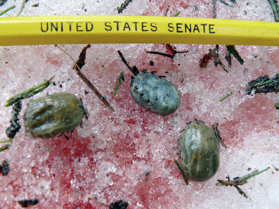 This undated photo provided by the Vermont Fish and Wildlife Department shows engorged female winter ticks that had dropped off a moose at its bloody bed site in Wheelock, Vt. State biologists are concerned the ticks, which become less of a problem in colder climates and after longer winters, could be contributing to a decline in the population rates of the state's estimated 3,000 moose. (AP Photo/Vermont Fish and Wildlife Department) / Vermont Fish and Wildlife Department