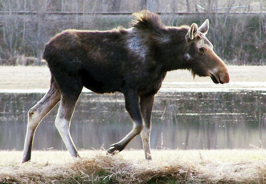 This undated photo provided by the Vermont Fish and Wildlife Department shows a moose with hair loss on its back. State biologists are concerned the ticks could be contributing to a decline in the population rates of the state's estimated 3,000 moose. Moose often scrape off their fur in an effort to rub off the ticks that torment them. (AP Photo/Vermont Fish and Wildlife Department) / Vermont Fish and Wildlife Department