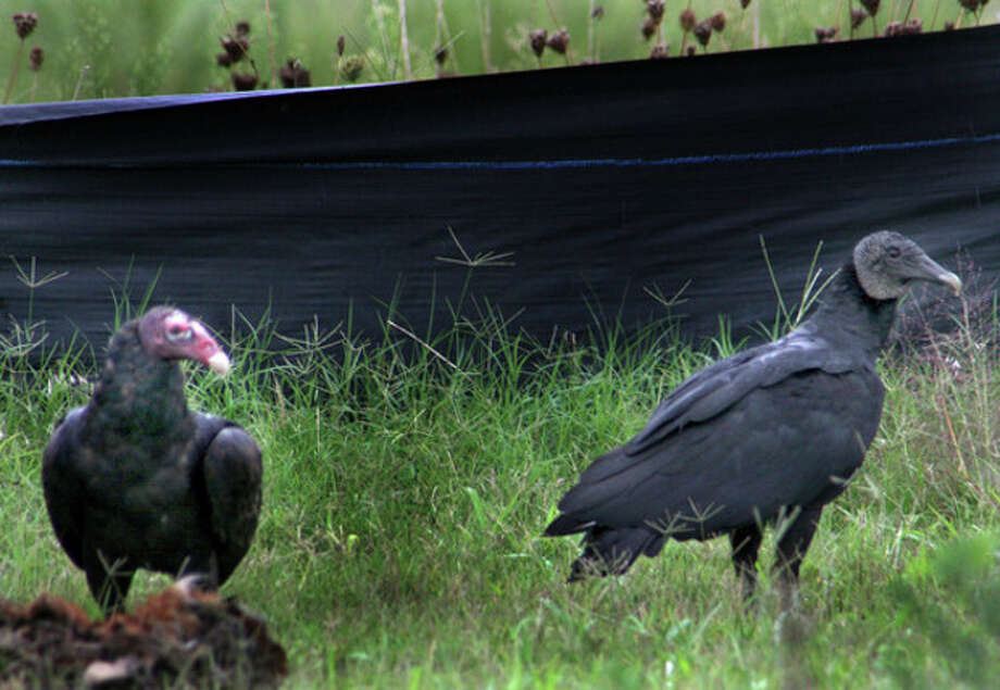 Photo by CHRIS BOSAKA Turkey Vulture, left, and Black Vulture share a meal of carrion along the side of a road in Delaware this summer.
