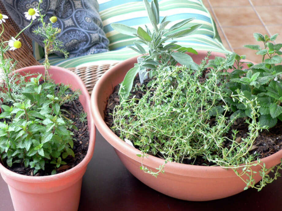 This August 24, 2012 photo provided by Jennifer Forker shows a medicinal indoor herb garden for healthful herbs throughout the winter months, from left, chocolate peppermint, and chamomile, and right, French thyme, sage, and lemon balm in Arvada, C.O. (AP Photo/Jennifer Forker) / AP