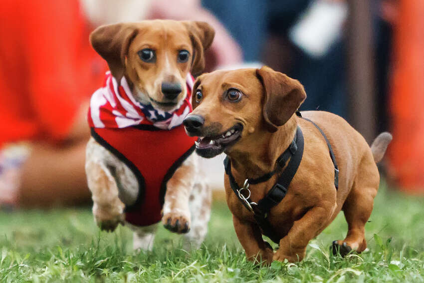 3. Every year, there is a dachshund race at the fest. This year, the race will begin at 3 p.m. Sunday, just before the egg toss and watermelon eating contest.