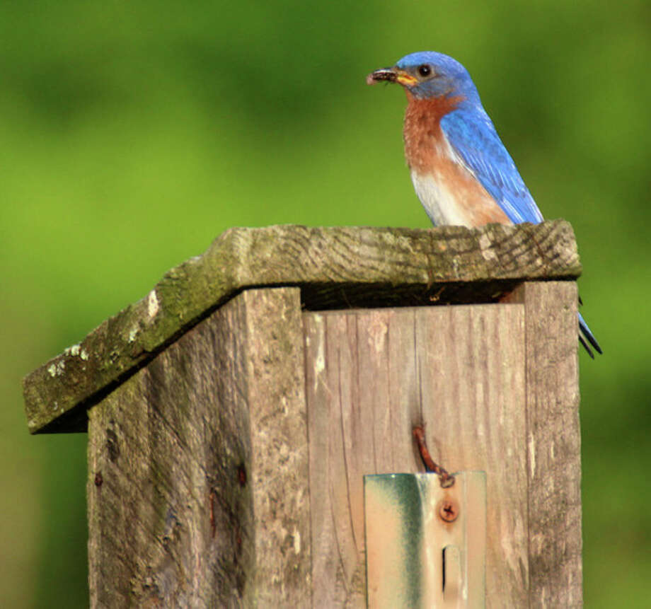 Photo by Chris BosakEastern Bluebirds on Darien Land Trust property in Darien, May 2013.