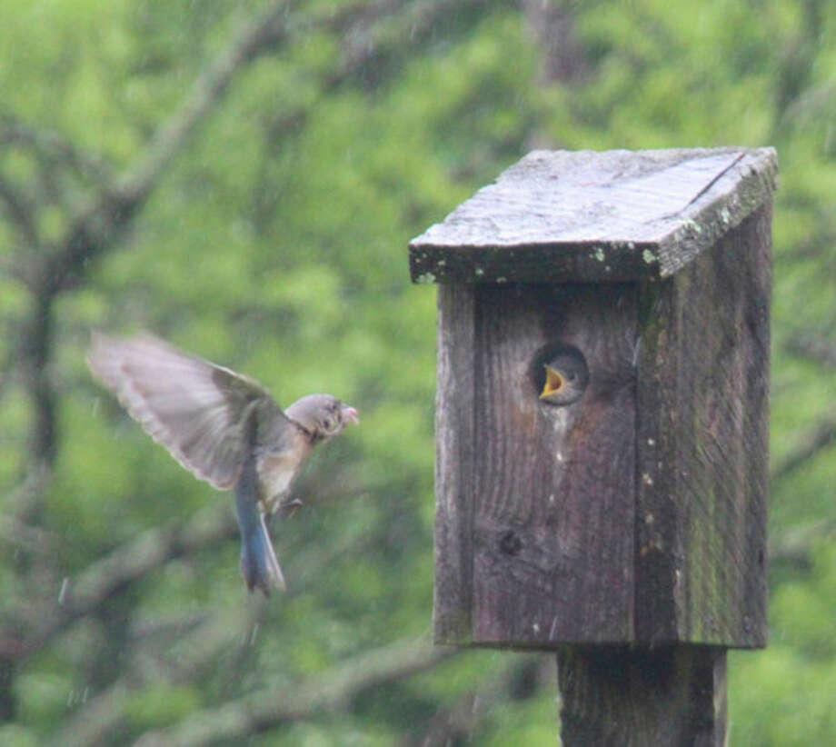 Photo by Chris BosakEastern Bluebirds on Darien Land Trust property, Darien, CT. May 2013.