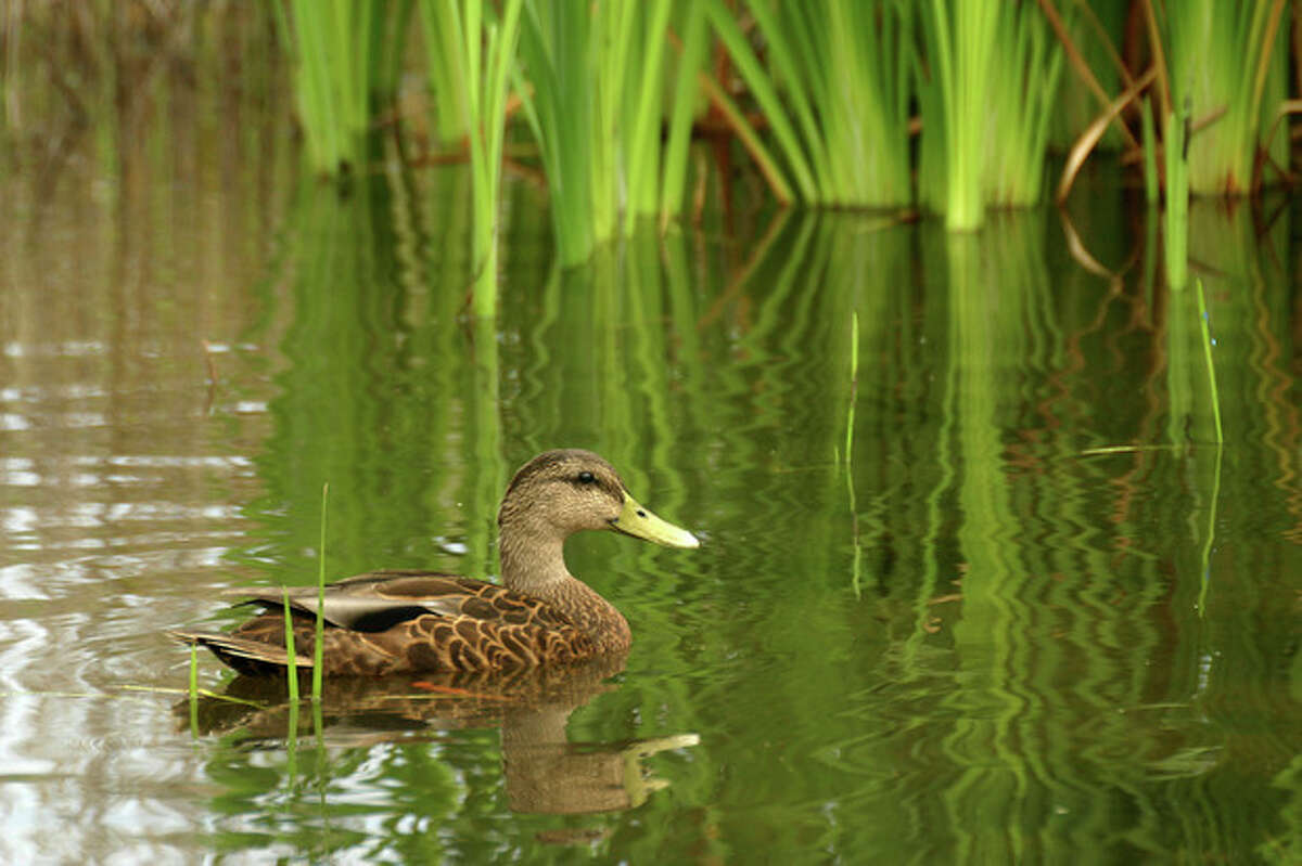 Photo by CHRIS BOSAK A female Mallard is pictured at Cove Island Park's wildlife sanctuary this summer.