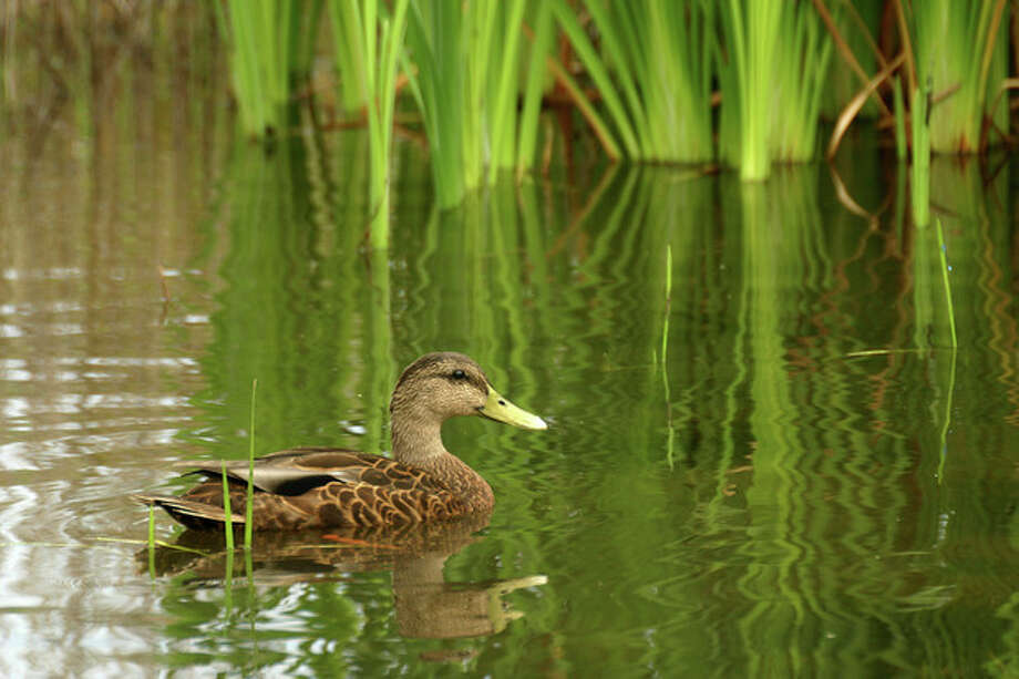 Photo by CHRIS BOSAKA female Mallard is pictured at Cove Island Park's wildlife sanctuary this summer.