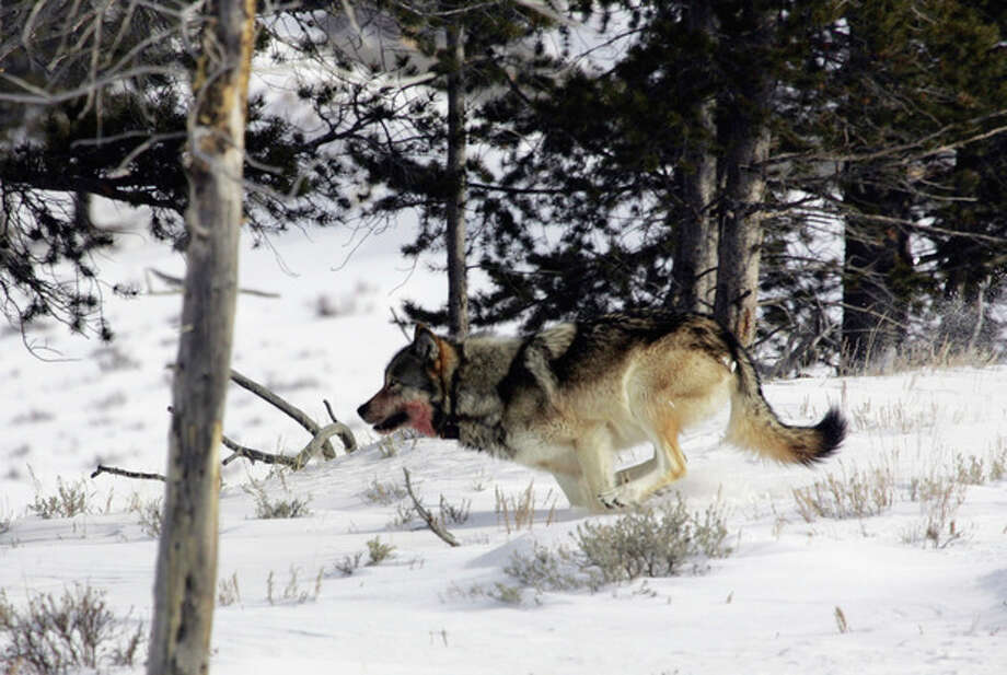 FILE - In this Feb. 16, 2006 photo provided by Yellowstone National Park, a gray wolf is seen on the run near Blacktail Pond in Yellowstone National Park in Park County, Wyo. The Obama administration on Friday June 7, 2013, will propose lifting federal protections for gray wolves across most of the Lower 48 states, a move that would end four decades of recovery efforts but has been criticized by some scientists as premature. (AP Photo/Yellowstone National Park, File) / Yellowstone National Park