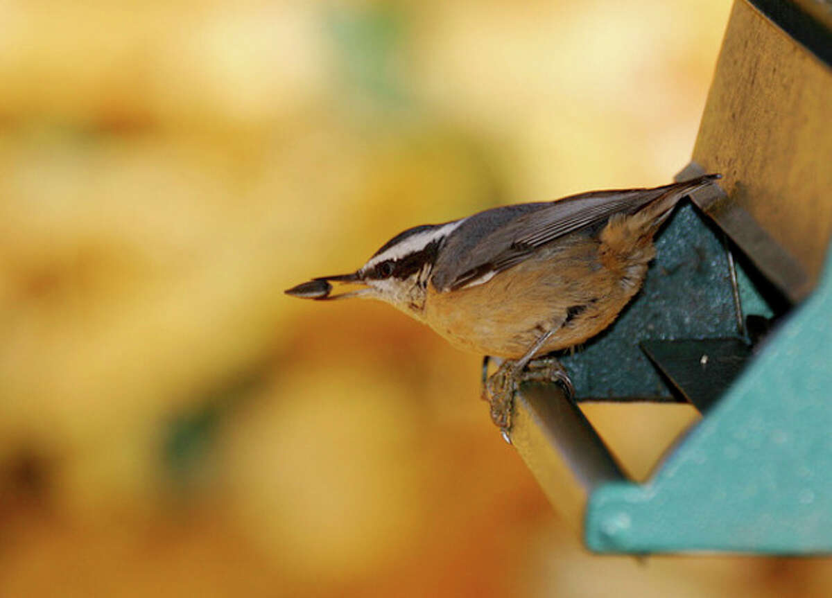 Red-breasted Nuthatch. Photo by CHRIS BOSAK