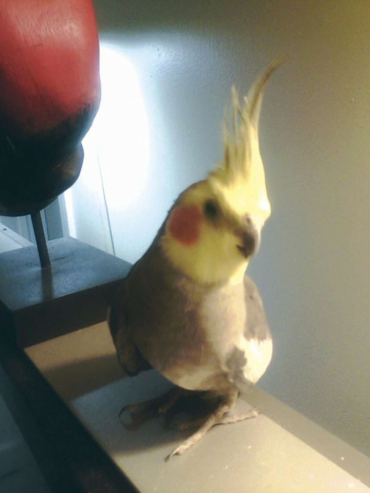 """Contributed photo This grey and yellow cockatiel was found two weeks ago in the parking lot of West Rocks Middle School by faculty and staff. Its foster parent, Laveau Cervalin, special education assistant-turned-bird sitter, is teaching it English, Spanish and """"a little French."""""""