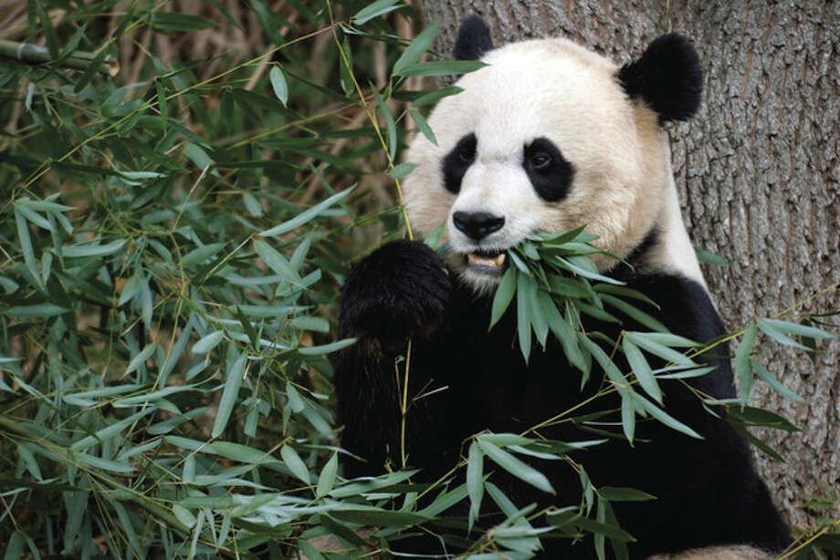AP Photo/Susan Walsh/FileIn this Dec. 19, 2011 file photo shows Mei Xiang, the female giant panda at the Smithsonian's National Zoo in Washington. The panda cub born to Mei Xiang on Sept. 16, 2012, after five consecutive pseudo pregnancies over the years, died Sept. 23. Panda keepers and volunteers heard a distress vocalization from Mei Xiang, at 9:17 a.m. and notified the veterinarian staff immediately, according to a statement by the National Zoo. / AP