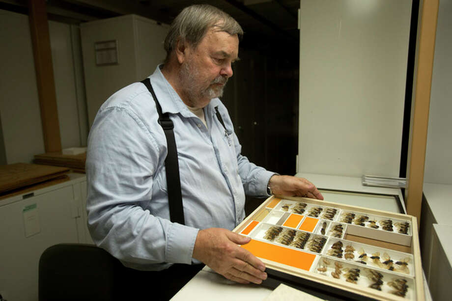 Gary Hevel, a research collaborator with the Dept. of Entomology at the National Museum of Natural History, opens a case of preserved cicadas, a brood of which are expected to emerge this spring in the Washington area, from storage at the Smithsonian Institution's Museum Support Center in Camp Springs, Md. on Tuesday, April 23, 2013. (AP Photo/Jacquelyn Martin) / AP