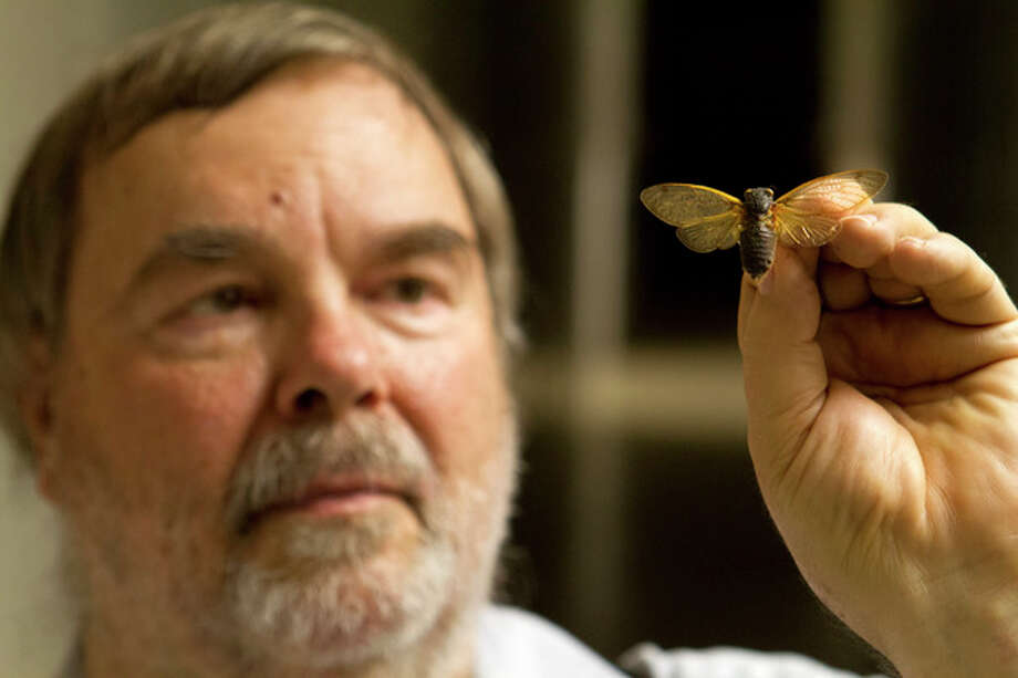 Gary Hevel, a research collaborator with the Dept. of Entomology at the National Museum of Natural History, holds up a preserved cicadas, a brood of which are expected to emerge this spring in the Washington area, at the Smithsonian Institution's Museum Support Center in Camp Springs, Md. on Tuesday, April 23, 2013. (AP Photo/Jacquelyn Martin) / AP