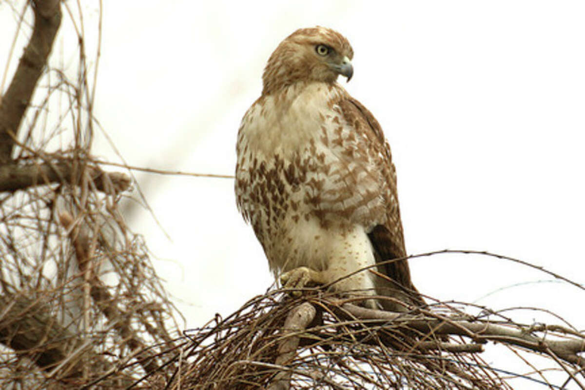 Photo by Chris Bosak Red-tailed hawks are commonly seen during fall migration at hawk watching locations.