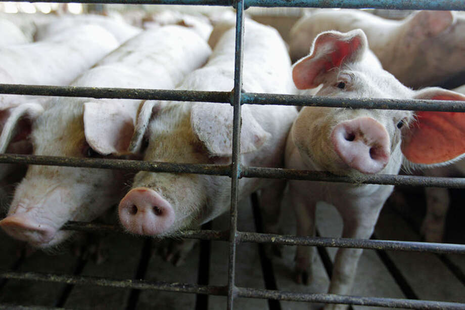 FILE - This June, 28, 2012, file photo shows hogs at a farm in Buckhart, Ill. U.S. agricultural economists say that a global shortage of bacon because of this year's drought will not pan out. Their consensus is that consumers will still find their ever-ubiquitous bacon at the supermarket, but they should just expect to pay more for it. (AP Photo/M. Spencer Green, File) / AP