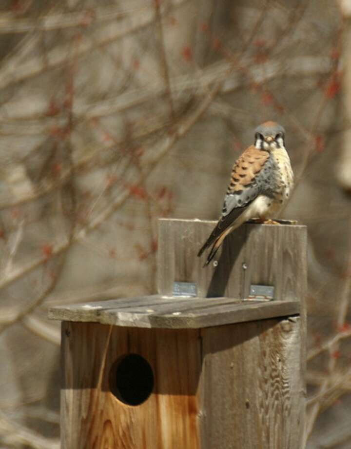 Photo by Chris BosakAmerican Kestrel, formerly known as Sparrow Hawk.
