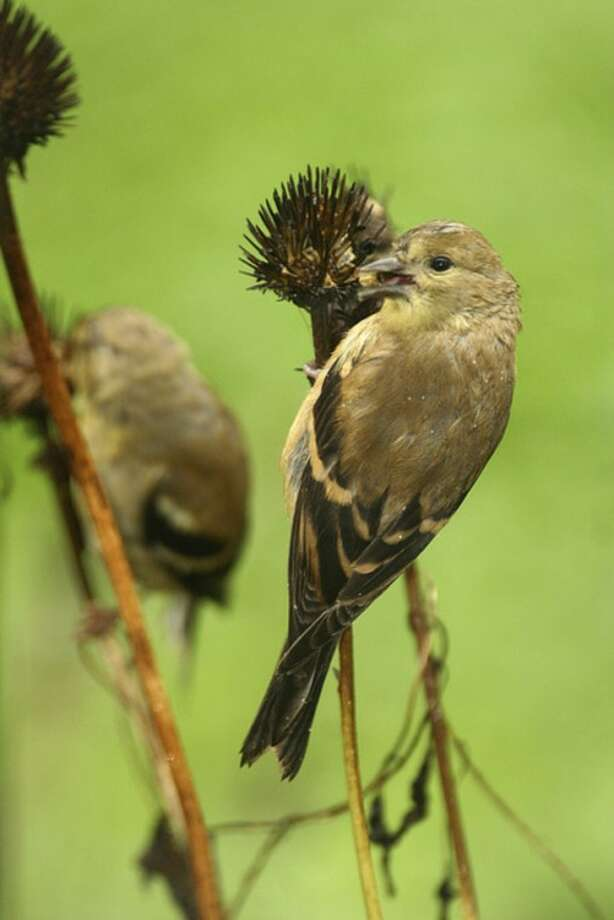 Photo by Chris BosakAn American Goldfinch eats seeds from a coneflower head this fall.