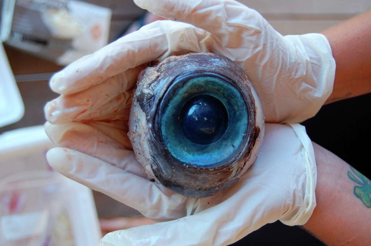 This Thursday, Oct. 11, 2012 photo made available by the Florida Fish and Wildlife Conservation Commission shows a giant eyeball from a mysterious sea creature that washed ashore and was found by a man walking the beach in Pompano Beach, Fla. on Wednesday. No one knows what species the huge blue eyeball came from. The eyeball will be sent to the Florida Fish and Wildlife Research Institute in St. Petersburg, FL. (AP Photo/Florida Fish and Wildlife Conservation Commission, Carli Segelson)