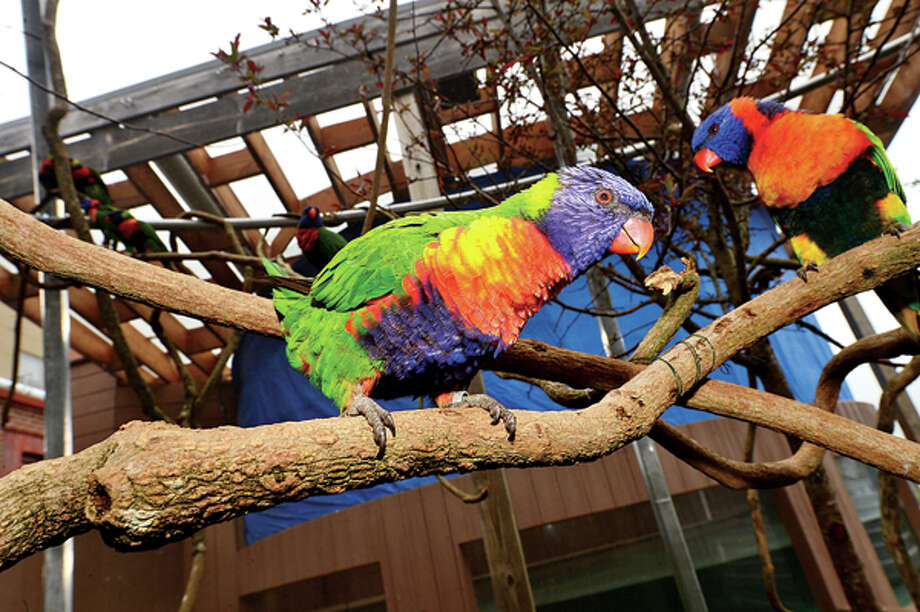 The Maritime Aquarium's new Lorikeet exhibit where more than 50 lorikeets will be housed in a new aviary out on the aquarium's riverfront courtyard. The new exhibit features a dozen different lorikeet species. Visitors to the aquarium may enter the aviary with cups of nectar where the free-flying birds land on them to feed. Hour photo / Erik Trautmann / (C)2013, The Hour Newspapers, all rights reserved