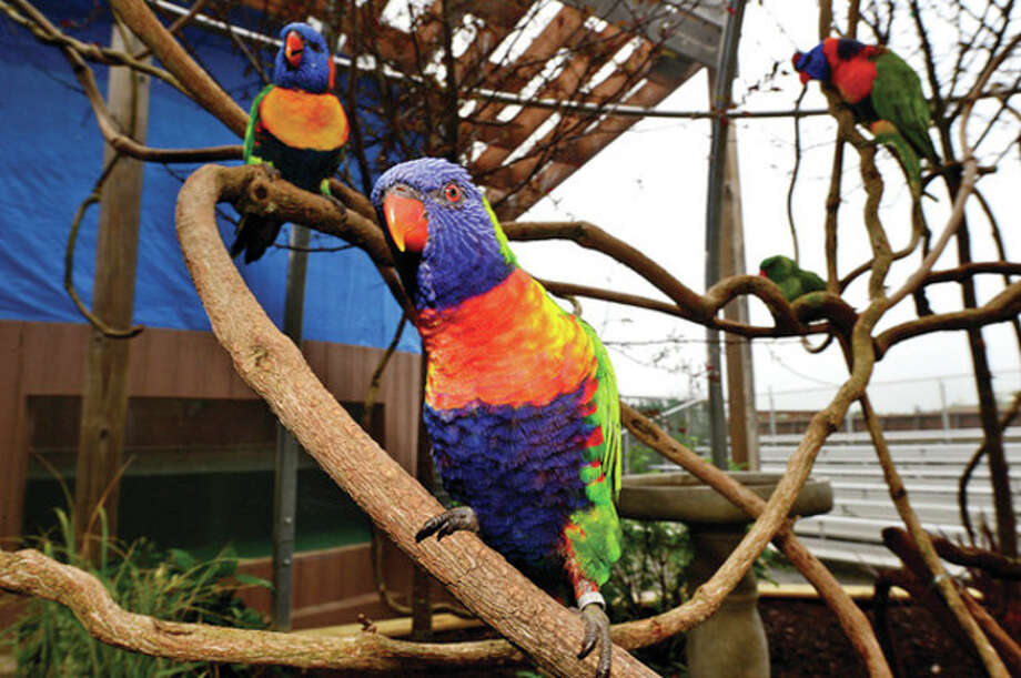 The Maritime Aquarium's new Lorikeet exhibit where more than 50 lorikeets will be housed in a new aviary out on the aquarium's riverfront courtyard. The new exhibit features a dozen different lorikeet species. Visitors to the aquarium may enter the aviary with cups of nectar where the free-flying birds land on them to feed.Hour photo / Erik Trautmann / (C)2013, The Hour Newspapers, all rights reserved