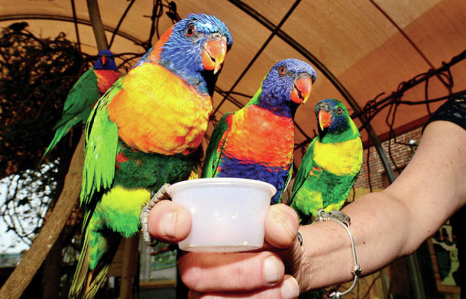 Hour photo / Erik TrautmannThe Maritime Aquarium's new Lorikeet exhibit where more than 50 lorikeets will be housed in a new aviary out on the aquarium's riverfront courtyard. The new exhibit features a dozen different lorikeet species. Visitors to the aquarium may enter the aviary with cups of nectar where the free-flying birds land on them to feed. / (C)2013, The Hour Newspapers, all rights reserved