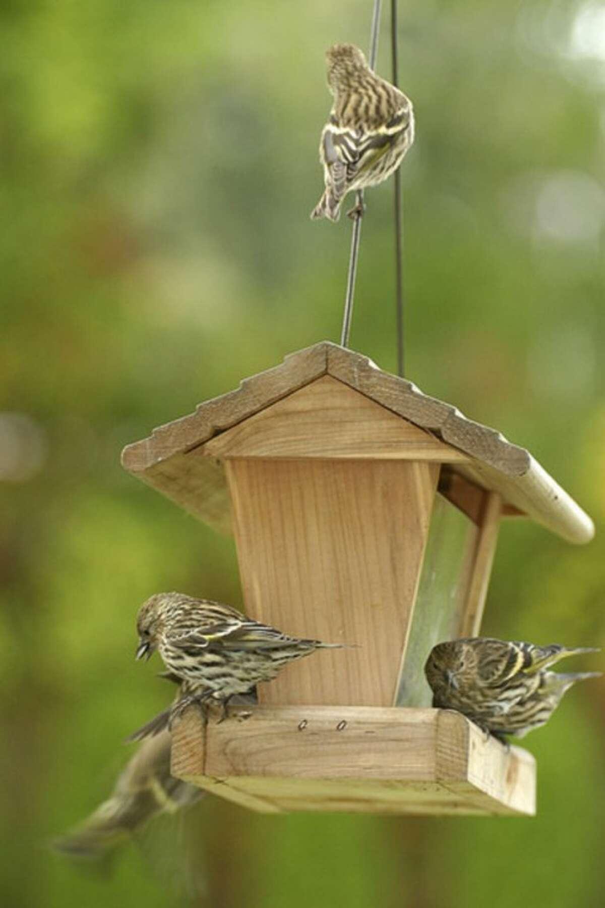 Photo by Chris Bosak Pine Siskins invade a birdfeeding station last week.