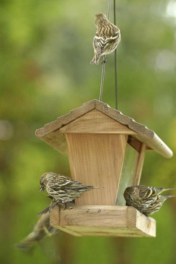 Photo by Chris BosakPine Siskins invade a birdfeeding station last week.