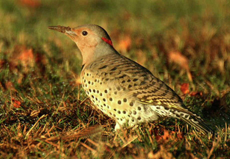 Photo by Chris BosakA female Northern Flicker digs for insects at a cemetery in Darien this week.