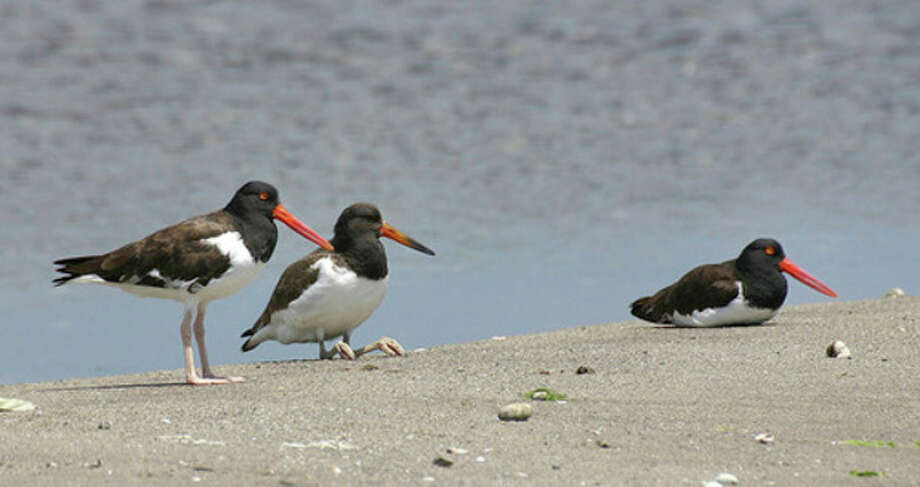 Photo by Chris BosakAmerican Oystercatchers in New England. The middle oystercatcher is an immature bird.