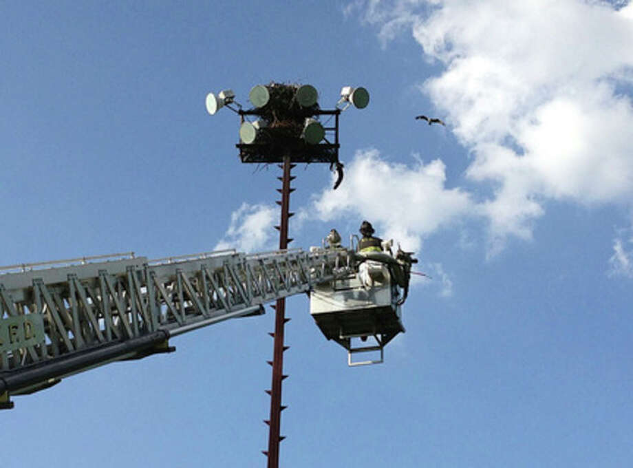 Norwalk firefighters rescue young osprey at Nathaniel Ely School. Contributed photo