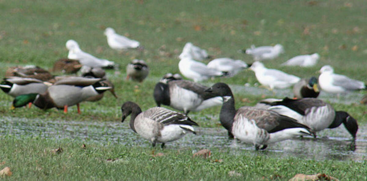 Photo by Chris Bosak A mixed flock of Atlantic Brant, Mallards and gulls congregate at a flooded area of Taylor Farm in Norwalk.