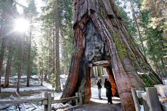 Neil Bradley and Azra Kovacevic, visiting from Europe explore the iconic California Tunnel Tree, cut in 1895 to allow horse-drawn stages to pass through, at the Mariposa Grove of Giant Sequoias in Yosemite National Park. Yosemite National Park on Tuesday Feb. 26, 2013, has released the Restoration of the Mariposa Grove of Giant Sequoias Draft Environmental Impact Statement with the primary goal being to restore giant sequoia habitat and improve the visitor experience.