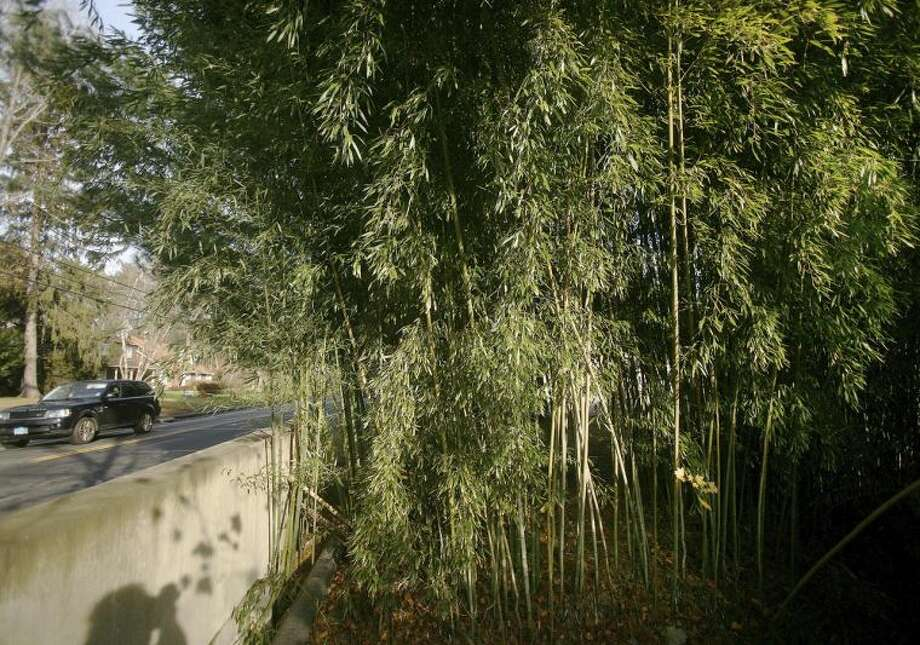 This Nov. 28, 2012, photo shows a large stand of bamboo along Turkey Hill Road in Westport, Conn. The state's general assembly passed a law effective Oct. 1 making people who plant an aggressive variety of running bamboo on their property liable for damages caused from allowing the plant to grow and spread to a neighboring property. (AP Photo/Connecticut Post, Brian A. Pounds) MANDATORY CREDIT